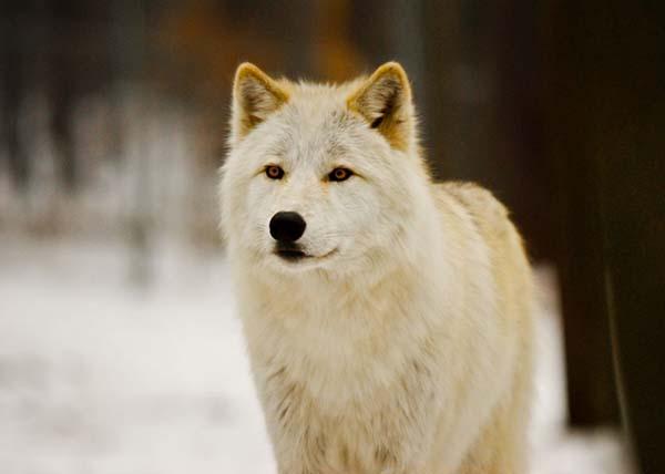 Ý nghĩa khi nằm mơ thấy cho sói mang là gì?