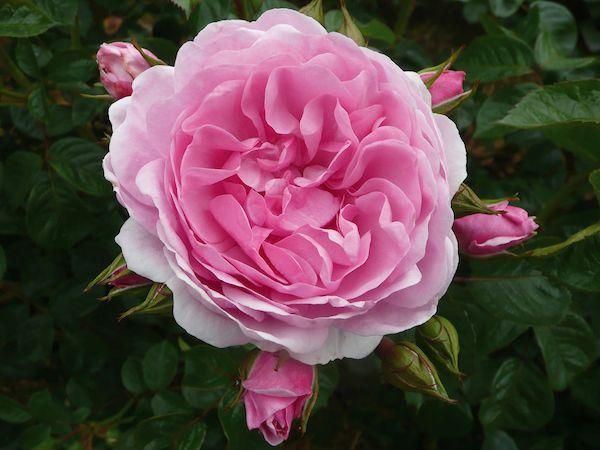 Giải mã giấc mơ thấy hoa hồng có ý nghĩa gì?